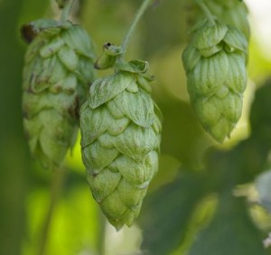 Hopfen (Quelle: Wikipedia)